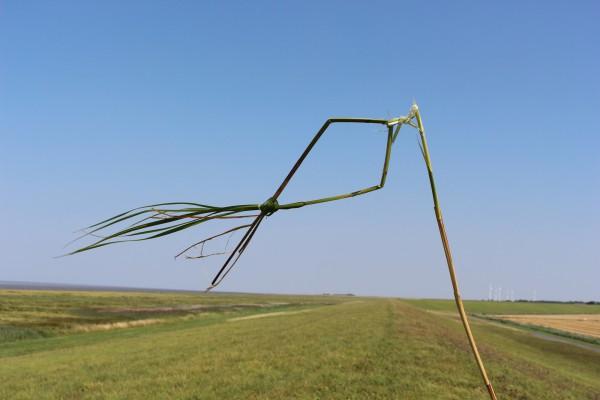 """August 2014,   """"Sturmfisch""""   Schilfhalme im Wind auf dem Deich bei Emden/Knock Ostfriesland"""